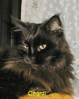 Black Maine Coon cat,